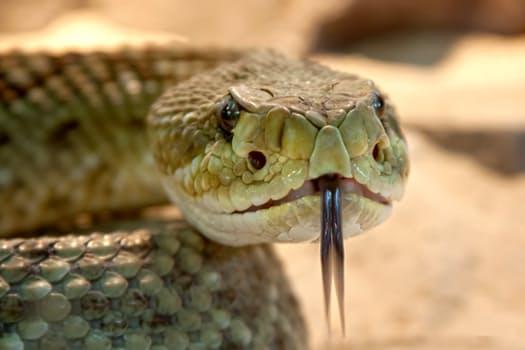 rattlesnake-toxic-snake-dangerous-38438